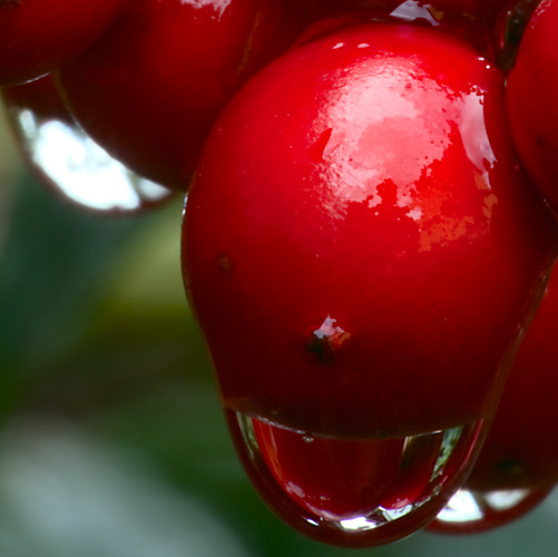 Drop of water on Mountain Ash Berry, macro