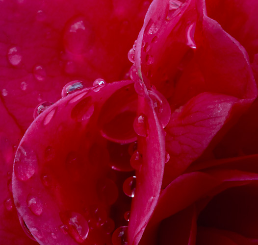 Raindrops on Flower, macro