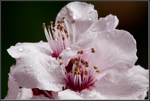Cherry Blossom, Sakura, Macro