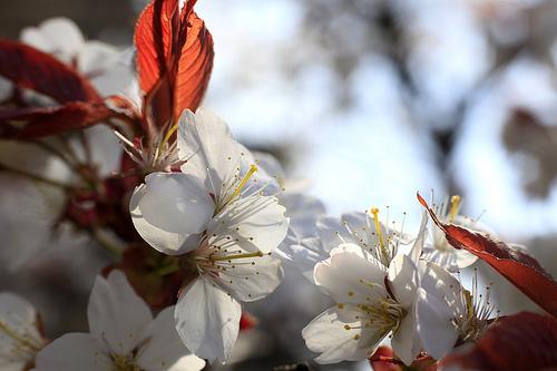 Sakura Blossoms in Yoshino, Japan