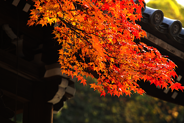Fall colours at Eikan-do, Kyoto, Japan.