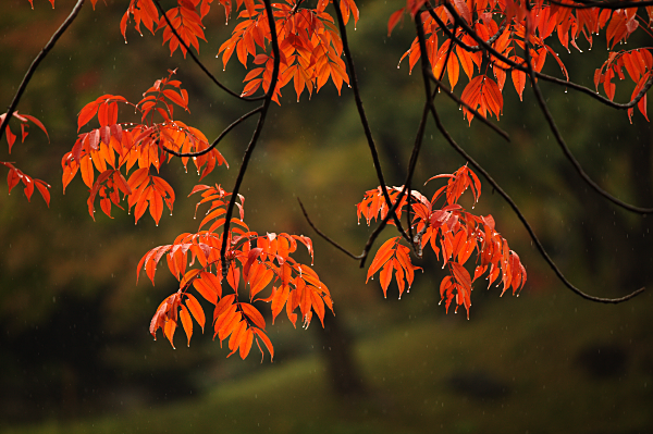 Japanese Maple Leaves - In the rain.