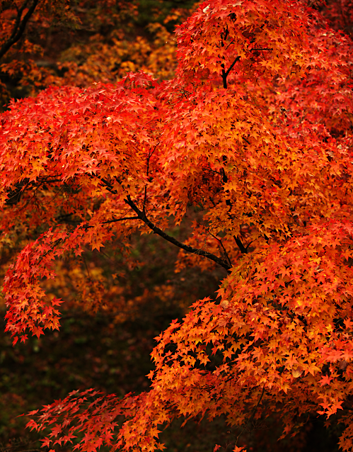 Fall Maple Tree Leaves in Kyoto, Japan